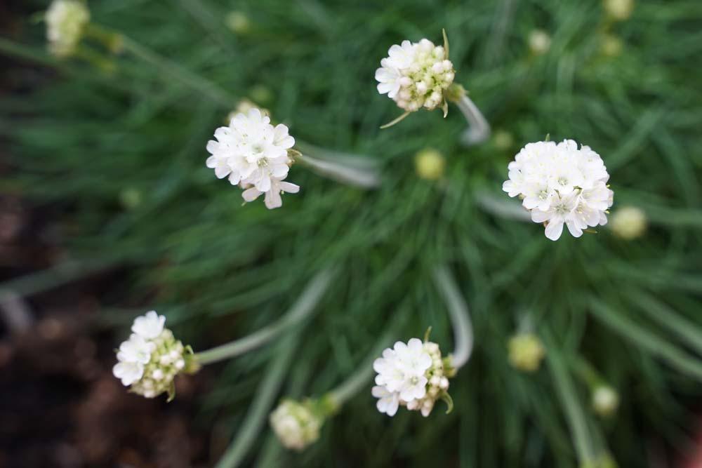 Rothöll Island Flora Weiße Grasnelke